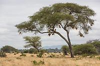 Tanzania. Tarangire National Park Scenery, Acacia Tree with Birds' Nests.