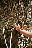 Xapuri, Acre State, Brazil. Young rubber tapper tapping a rubber tree using a Brazil nut shell to catch the rubber.