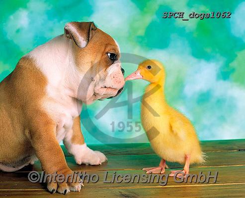 Xavier, ANIMALS, REALISTISCHE TIERE, ANIMALES REALISTICOS, dogs, photos+++++,SPCHDOGS1062,#a#, EVERYDAY