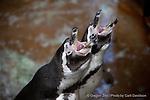 Humboldt Penguins (Spheniscus humboldti)