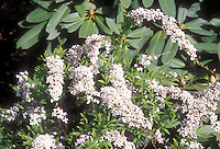 Spiraea thunbergii Fujino Pink n bloom, spring flowering shrub against blue sky