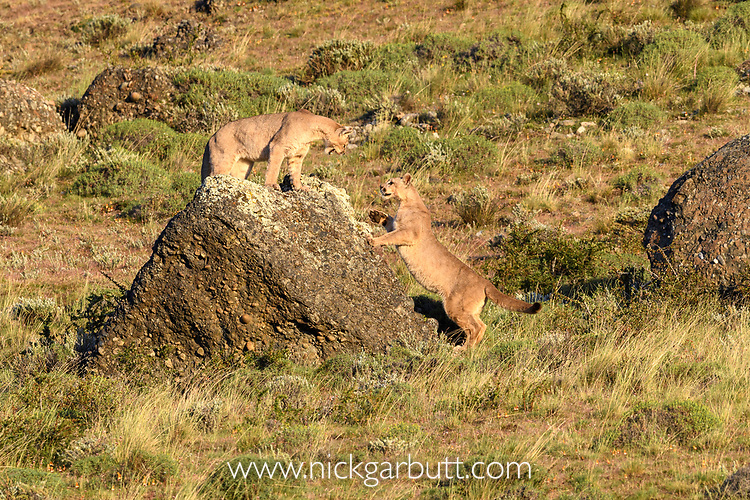 Near-adult puma cubs (Puma concolor) (southern subspecies Puma concolor puma) (in N. America, cougar or mountain lion) (12/13 months old) playing. Private ranch land (Estancia Amarga) on the outskirts of Torres del Paine National Park, Patagonia, Chile.