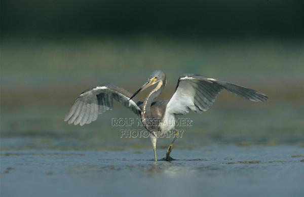 Tricolored Heron, Egretta tricolor, adult fishing, Welder Wildlife Refuge, Sinton, Texas, USA