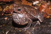 """Nome científico: Rhinalla magnusssoni<br /> Nome-inglês: Magnusson's South American Toad<br /> .<br /> Macho adulto vocalizando para atrair parceira. Espécie descrita em 2007 e conhecida de poucas localidades no Estado do Pará. A biologia dessa espécie é pouco conhecida, mas sabe-se que ela canta na beira de corpos d'água e coloca seus ovos na água --geralmente em poças temporárias formadas pela água das chuvas.<br /> .<br /> Imagem feita em 2008 durante estudo de diagnóstico da flora e da fauna na área de influencia do empreendimento """"Aproveitamento Hidroelétrico Belo Monte"""". Rio Xingu, Estado do Pará, Brasil."""