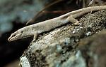 Round Island Skink or Telfair's Skink (Leiolopisma telfairii) on Round Island, Mauritius, Indian Ocean.
