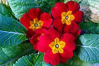 Flores. Polyanthus. UK. Foto de Manuel Lourenço.