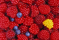 Ripe red salmonberries, blueberries, Cordova, Alaska