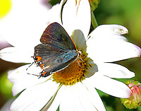 Gray hairstreak male