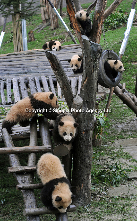 Seven panda cubs born from mothers evacuated from Wolong Panda base in Sichuan after last year's devasting earthquake, plays on a swing at the panda  kindergarten at Bi Fengxia Panda Research Base in the mountains of Sichuan, China.  Thirteen pandas in total were born from evacuated mothers were evacuated to the area which is famous for it's rainfall and bad weather..