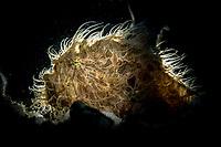 Hairy Frogfish (Antennarius striatus) in the Lembeh Strait