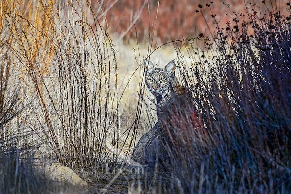 Wild Bobcat (Lynx rufus).  California.  Late Winter.  (A completely wild non-captive cat.)