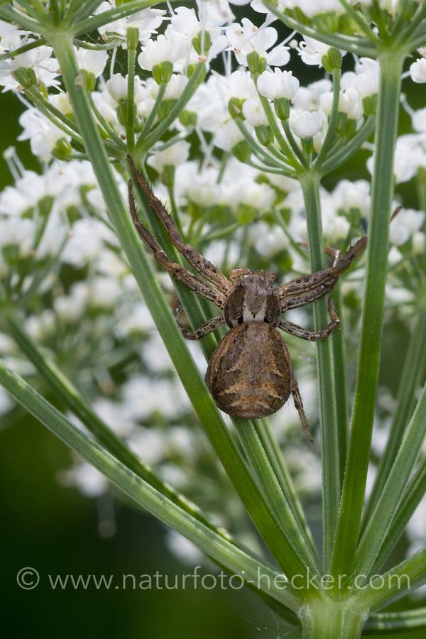 Anspruchslose Krabbenspinne, Krabbenspinne, Weibchen lauert an Blüte auf beute, Xysticus cf. kochi, crab spider, female, Krabbenspinnen, Thomisidae, crab spiders