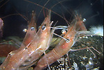 Montagues, or Northern Shrimp