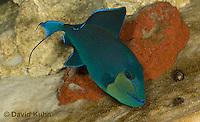 0518-1004  Niger triggerfish, Odonus niger  © David Kuhn/Dwight Kuhn Photography