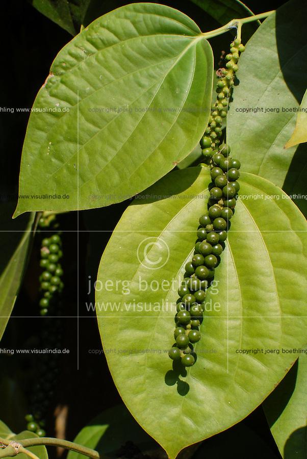 INDIA Karnataka Taccode, pepper harvest, shrub with green pepper berry / INDIEN Karnataka, Anbau von Pfeffer, gruene Pfefferbeeren am Strauch, nach der Ernte werden sie in der Sonne getrocknet bis sie schwarz werden