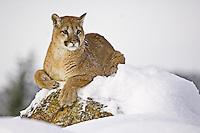 Puma (puma concolor)  lying on top of a snowy hill near Kalispell, Montana, USA - Captive Animal