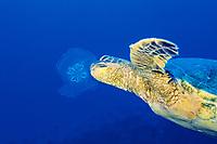 green sea turtle, Chelonia mydas, feeding on moon jelly, moon jellyfish, common jellyfish, or saucer jelly, Aurelia aurita, Big Island, Hawaii, USA, Pacific Ocean
