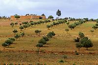 Near Essaouira, Morocco - Olive trees, Camel.