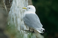 Black-legged Kittiwake, Rissa tridactyla, adult on nest, Ekkeroy, Norway, June 2001