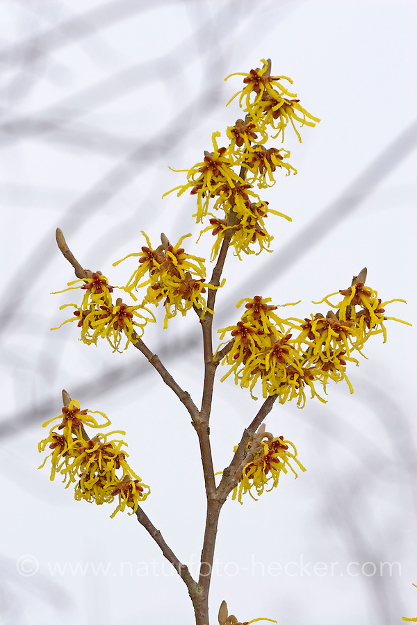Zaubernuss, Zaubernuß, Hamamelis spec., witch hazel