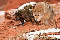 Coyote leeping for prey - CA