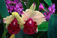 Memoria Anna Balmores Convex<br /> Orchid nursery<br /> Puna District<br /> Island of Hawaii,  Hawaii