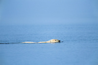 Polar Bear swimming in Arctic Ocean of the north coast off Alaska along the Arctic National Wildlife Refuge.  Sept.