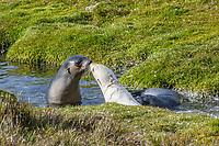 Antarctic fur seal, Arctocephalus gazella, aka Kerguelen fur seal, rare, leucistic pup, playing along with normally dark-colored pup, Fortuna Bay, South Georgia, Atlantic Ocean