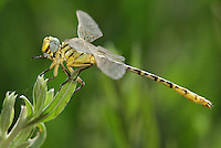 333920011 a wild male brimstone clubtail dragonfly stylurus intricatus perches on an arroweed plant near el centro in imperial county california united states