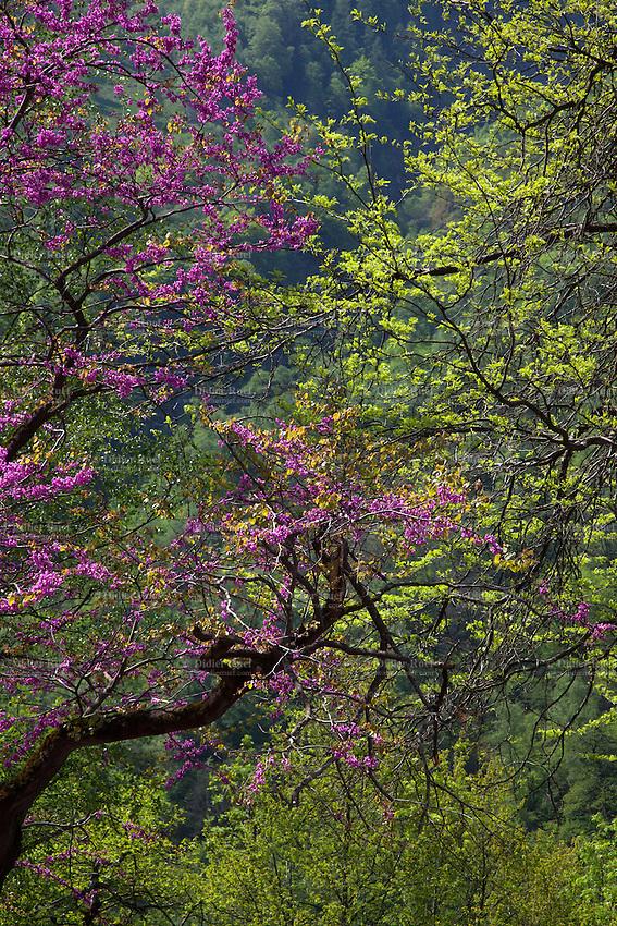 Switzerland. Canton Ticino. Lavizzara valley. Peccia. Colorful trees blossoming at spring time. 12.05.2015 © 2015 Didier Ruef