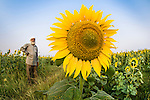 Sunflower (Helianthus annuus) and farmer in field grown for sunflower oil production. Madhya Pradesh, India.