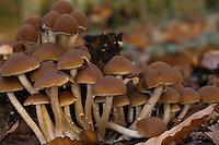 Wässriger Mürbling, auf morschem Baumstubben, Totholz, Wässriger Faserling, Wässriger Saumpilz, Weißstieliges Stockschwämmchen, Weissstieliges Stockschwämmchen, Psathyrella piluliformis, Psathyrella hydrophila, Psathyrella subpapillata, Common Stump Brittlestem