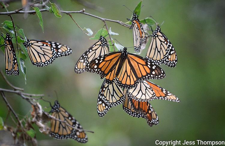 Monarch Butterflies, San Angelo State Park, Texas