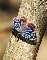 Male Mexican bluewing