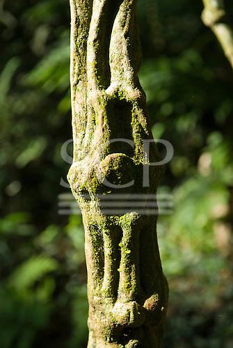 Fazenda Cagibi, Parana State, Brazil. Knobbly liana with green lichen. Like a hymph climbing up.