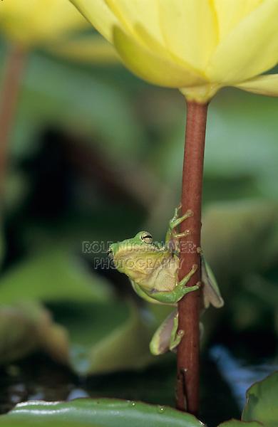 Green Treefrog, Hyla cinerea, adult on yellow waterlily, Welder Wildlife Refuge, Sinton, Texas, USA, May 2005
