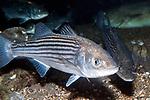 Striped bass juvenile 2 shot swimming 45 degrees to camera facing right