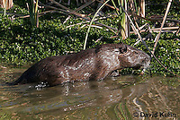 0715-0801  Nutria (syn. Coypu), Myocastor coypus © David Kuhn/Dwight Kuhn Photography