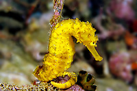 spotted or yellow seahorse, HIppocampus kuda, Richelieu Rock, Thailand Indian Ocean