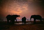 Elephant herd at watering hole at sunset, Tarangire National Park, Tanzania