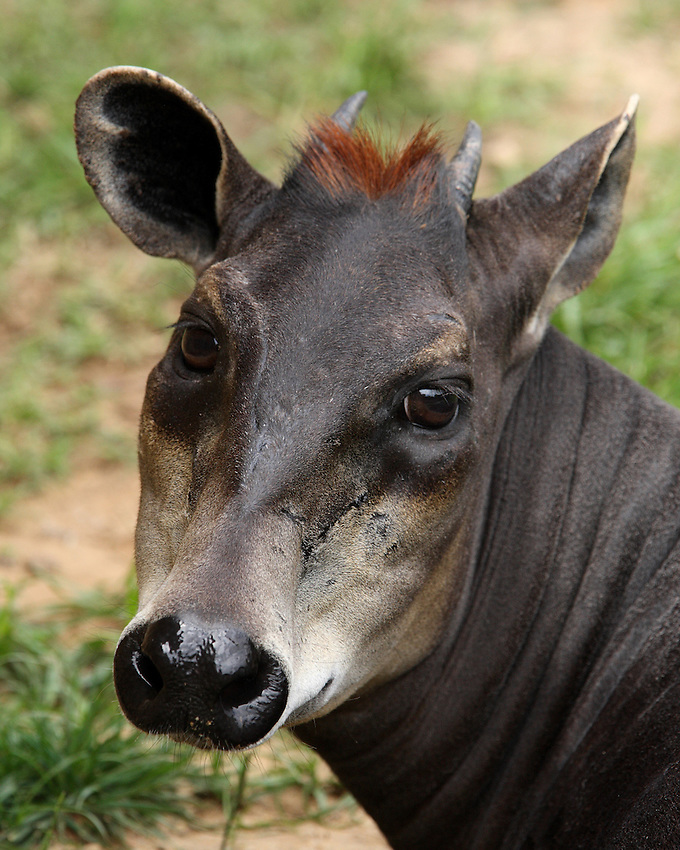 The yellow-backed duiker is the largest of all duikers; a group of animals which get their name from the Afrikaans word for 'diver', referring to their habit of diving into dense vegetation for cover.