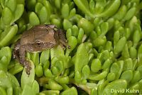 0811-0911  Spring Peeper Frog on Green Sedum, Pseudacris crucifer (formerly: Hyla crucifer)  © David Kuhn/Dwight Kuhn Photography