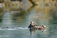 Sea Otter (Enhydra lutris) mom eating while pup rests.
