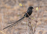 The Magpie shrike has quite a tail.