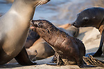 La Jolla, California; a California Sea Lion pup barks at a neighboring adult sea lion, which had disturbed it from nursing from its mother, while resting on the rocky shoreline in late afternoon sunlight