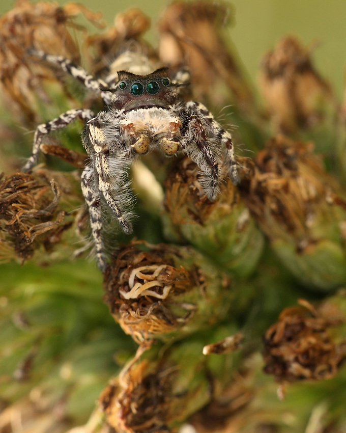 Jumping spiders are generally diurnal, active hunters. Many can jump 20 to 30 times the length of their body.