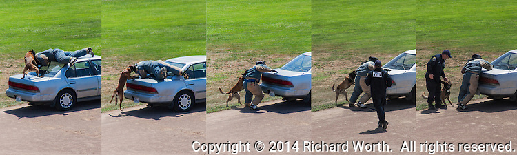 A police K-9, in scenario testing, subdues a gunman hiding on a car roof, but fails to desist on command, forcing the human partner to intervene.  One of the competitors in the San Leandro hosted K-9 Competition August 9, 2014.