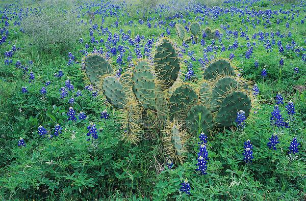 Texas Bluebonnet, Lupinus texensis,Texas Prickly Pear Cactus, New Braunfels,Texas, USA