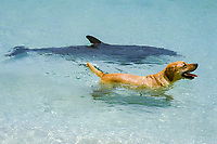 common bottlenose dolphin, Tursiops truncatus, named JoJo - a wild, lone sociable dolphin, or ambassador dolphin, swimming with domestic dog, Canis lupus familiaris, its friend, named Toffee, a Golden Labrador Retriever, Providenciales, Turks & Caicos Islands, Caribbean Sea, Atlantic Ocean