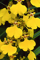 Gomenkoa aka Oncidium Bill Lockhart, orchid hybrid of Gomesia Java x Zelenkoa onusta, 1968